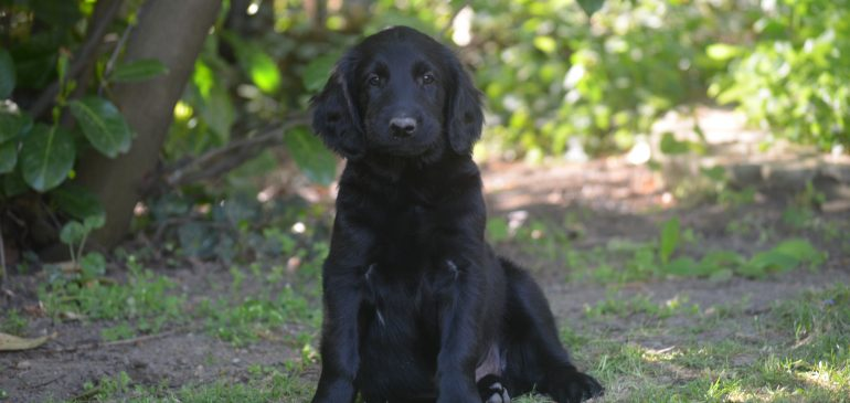 Funstuff H-litter, available puppies