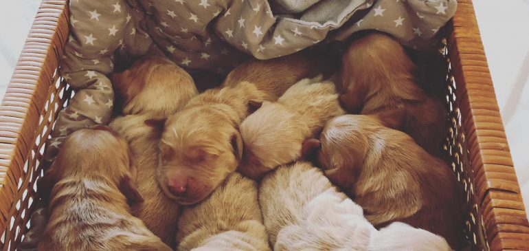 Golden Retriever R-litter, Gallery and weight table are online