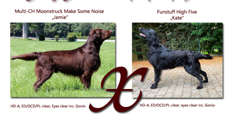 Flat Coated Retriever J-litter planned for Spring 2021